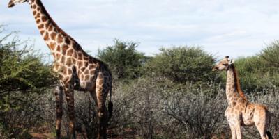 شيء مذهل.. زرافتان قزمتان في إفريقيا تثيران حيرة العلماء